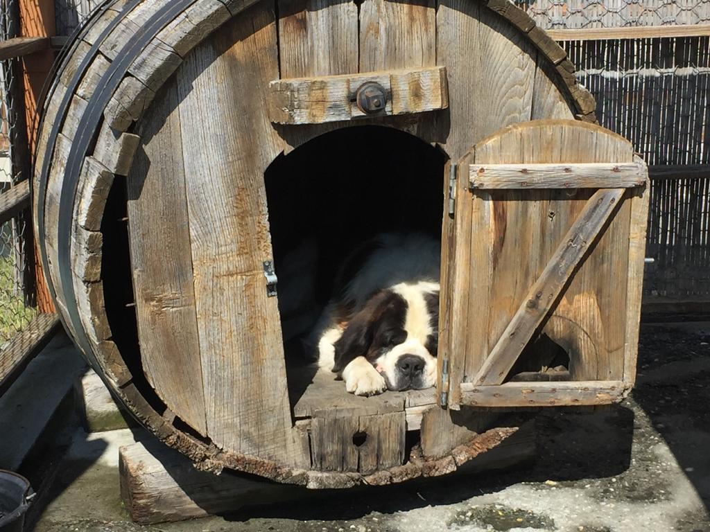 St Bernard dog sleeping in a wine barrel